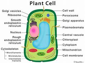 Plant Cell  U2013 Structure  Parts  Functions  Types  And Diagram