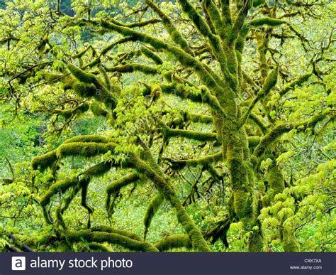 Big Leaf Maple tree with moss and new growth. Oregon ...