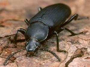Schwarzer Käfer Im Haus : problem mit k fern insekten schutz ~ Somuchworld.com Haus und Dekorationen