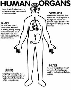 Printable Worksheet  Human Organs  Brain  Stomach  Lungs