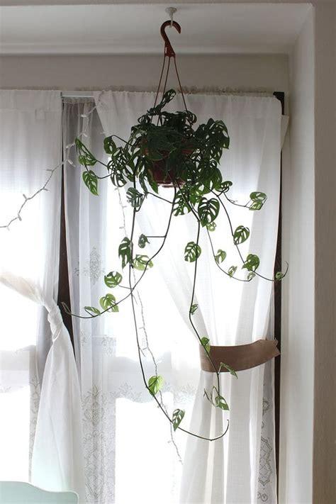 monstera obliqua trailing plant