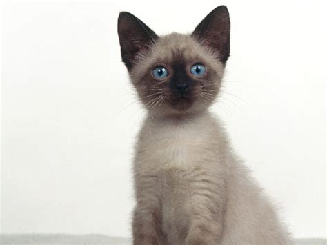 Siamese Cat Pictures And Info