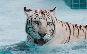wallpapers: White Tiger Wallpapers
