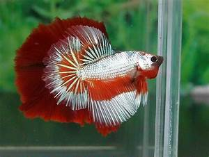 tiger/dragon half moon Betta fish   Fish   Pinterest