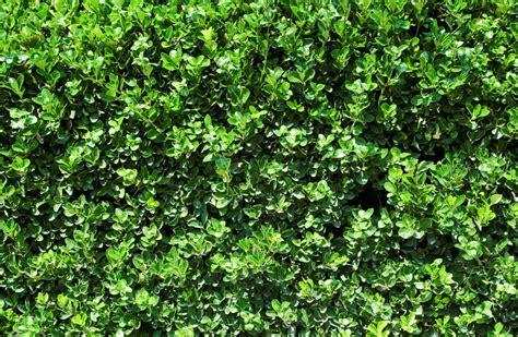 privet hedge privet pet poison helpline