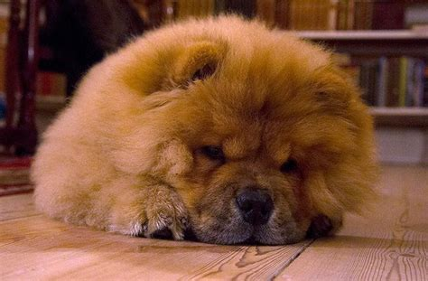 Best 25 Chow Chow Puppies Ideas On Pinterest Chow Chow