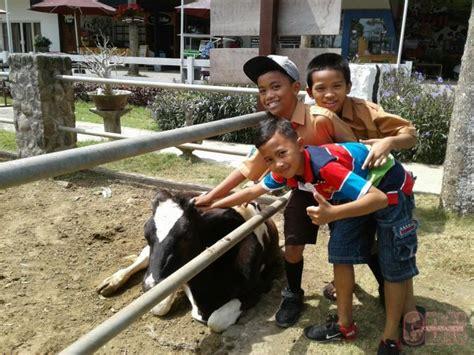 milkindo wisata edukasi sapi perah cendana news