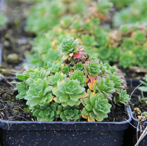 Pflanzen Hamburg by Vaste Plant Aubrieta Hamburger Stadtspark 0 55l P9cm
