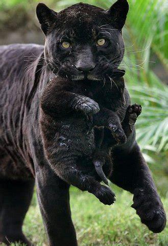 panther bild animaatjes panter