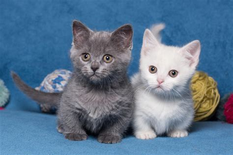 The Adorable Short Legged Cat Breed!