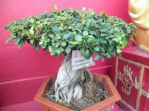 Bonsai Ficus Ginseng : ginseng ficus bonsai trees ~ Buech-reservation.com Haus und Dekorationen