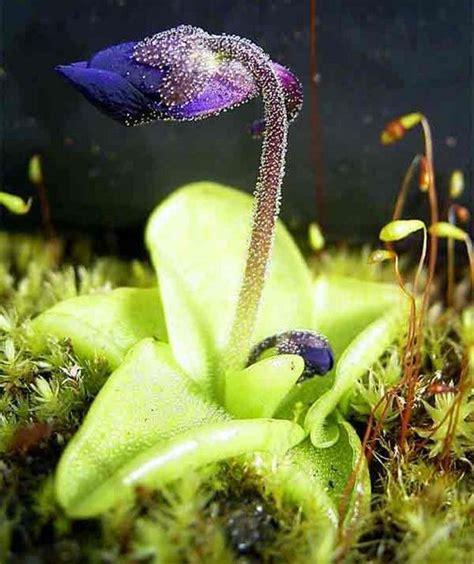 pinguicula grandiflora wikipedia