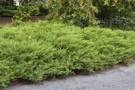 juniper bush shrubs combs landscape