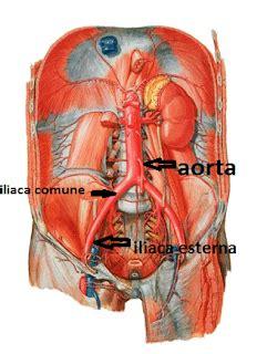 ecocolordoppler vasi epiaortici vasi epiaortici anatomia 28 images malattie
