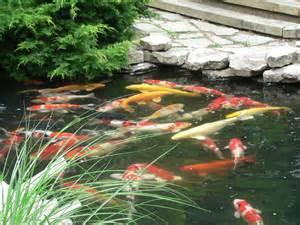 koi fish pond seasonal koi care winter pond care