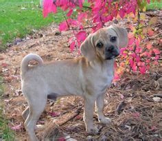 do all puggles shed all that is beautiful in the puggle