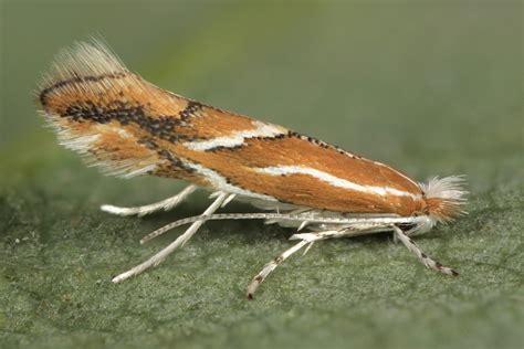 http://www.lepiforum.de/lepiwiki_vgl.pl?Phyllonorycter_Corylifoliella