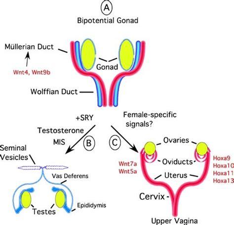 filethe uterus differentiates   fetal muellerian