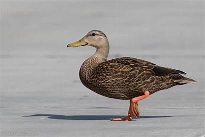 Mottled Duck Ducks Hybrid Identifying Ebird Api
