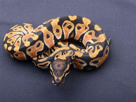 python colors python color and pattern morphs pythons