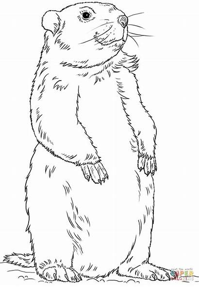 Groundhog Coloring Marmotte Disegno Clip Coloriage Drawing