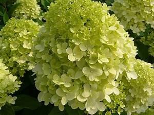 Hydrangea Paniculata Schneiden : hydrangea paniculata 39 limelight 39 pbr van vliet new plants ~ Lizthompson.info Haus und Dekorationen