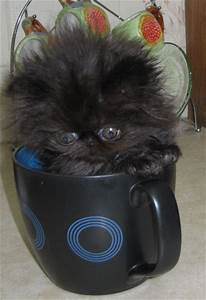 Teacup Persian cats are miniature cats, and so they do not ...
