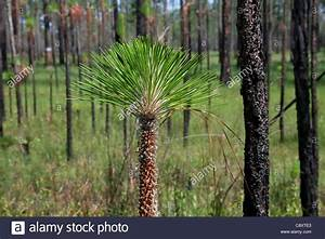 Tip of young Longleaf Pine Tree or sapling Pinus palustris ...