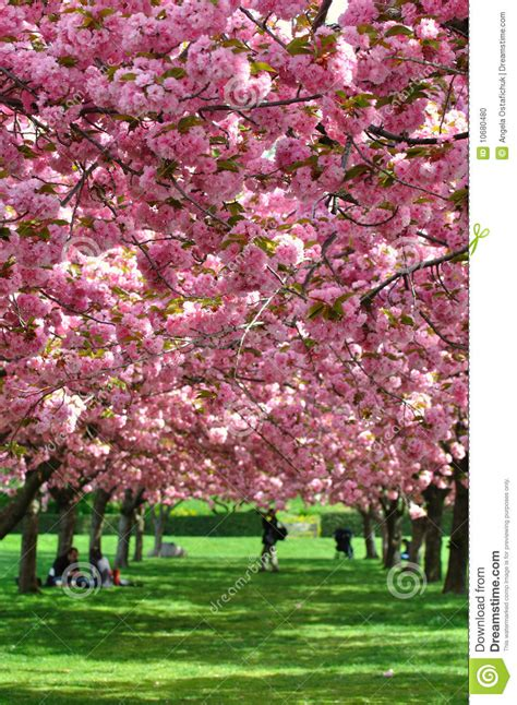 botanical garden cherry blossom cherry blossoms in new york botanical gardens editorial