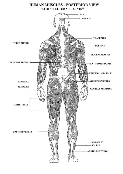 Muscular System - Health Occupations