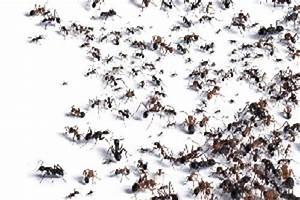 ameisen vernichten rote ameisen im garten vernichten ja With französischer balkon mit was hilft gegen ratten im garten