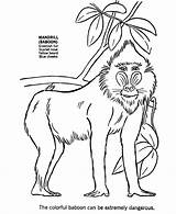 Baboon Coloring Animal Animals African Wild Drawing Mandrill Africa Sheet Honkingdonkey Printable Face Drawings Templates Monkeys Clipart Wolf Sketch Fox sketch template