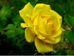 Beautiful Flowers   Beautiful Pictures Of Yellow Roses