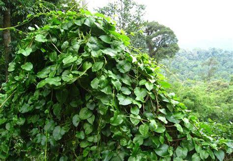 binahong ciri tanaman khasiat manfaatnya