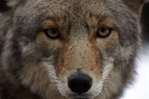 Images Of A Coyote Bestand Coyote Closeup Jpg