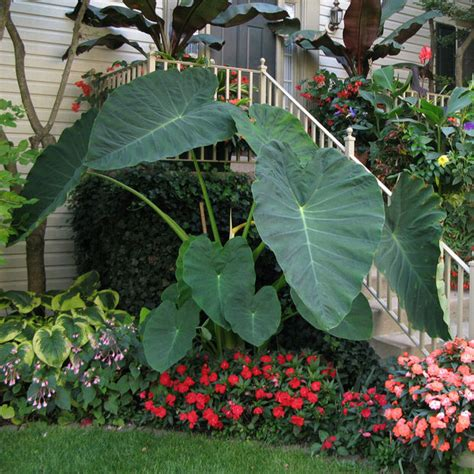 Hardy Tropicals You Can Grow!  The Garden Glove