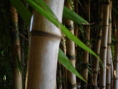 Alternativen Zu Tropenholz Terrassenboden Aus Bambus Laerche Und Co by Bambus Terrassendielen Eigenschaften Kosten