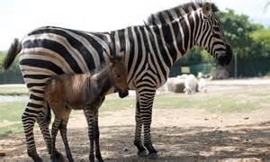 Zebra and Donkey Baby