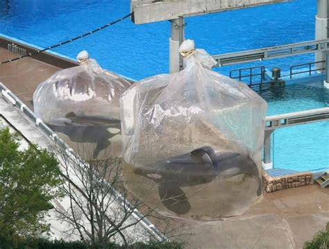 false seaworld employees place orcas in plastic bags of water while cleaning tanks