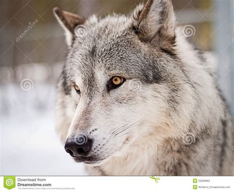 wolf portrait stock  image