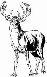 Elk Coloring Young Animals Colornimbus Template Moose Sheets Sketch sketch template
