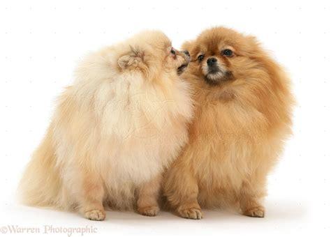 Dogs: Two Pomeranians photo WP26231