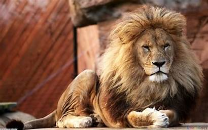 Lion Male Wallpapers Animals