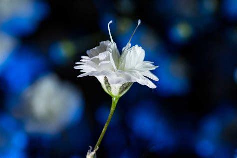 macro flower photography  tiny flowers  gypsophila
