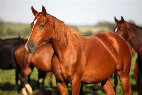 horses sick horse equine head chestnut equimanagement body