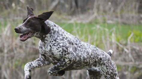 active dog breeds     stay fit