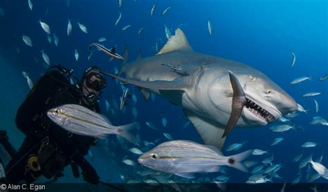 photographing shark feeding  predation
