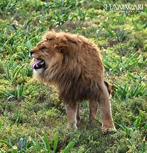 Borne Free Lyon : born free lions rehomed in south africa africa geographic ~ Medecine-chirurgie-esthetiques.com Avis de Voitures