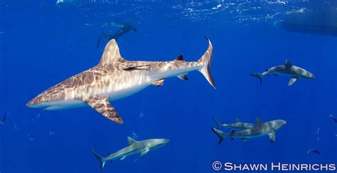 Marshall Islands Protecting Sharks That Protect Islanders
