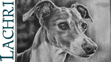 foto de Italian Greyhound Graphite Pencil drawing realistic speed